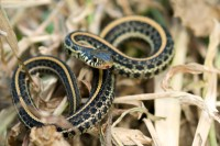 Garter snake in Chris Helzer's backyard in Aurora, Nebraska.