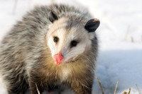 Opossum in the snow at The Nature Conservancy's Dahms Tract
